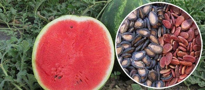 семена арбуза для почек